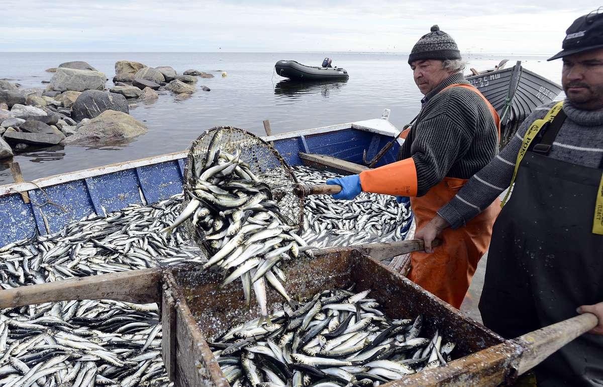 рыбный промысел в Белом море