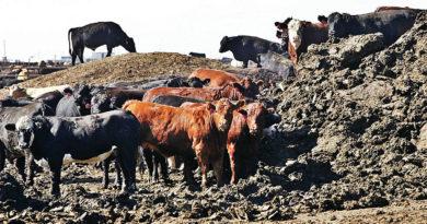 навоз коровий